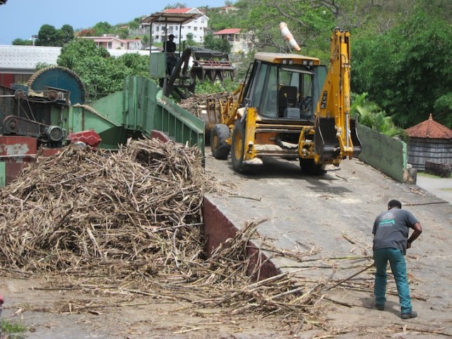 Sugar Cane at Neisson Rhum
