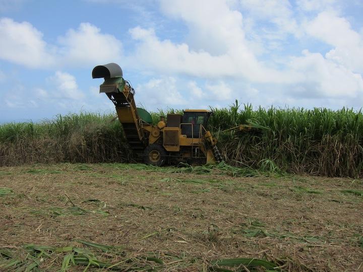 Habitation Bellevue Sugar Cane Fields