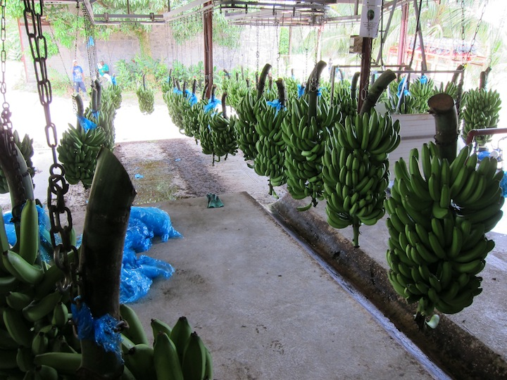 Rhum JM Alternates Their Crops With Bananas