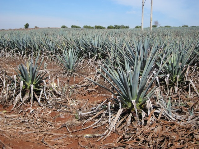Agave Plants in Don Julio's Fields
