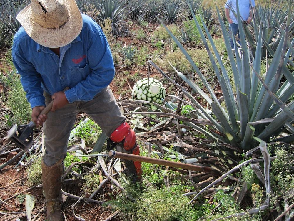 Harvesting Agave