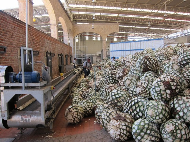 Piñas Are Trucked To The Distillery