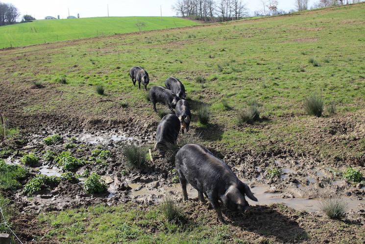 Gascogne pigs